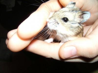 mascota-hamster
