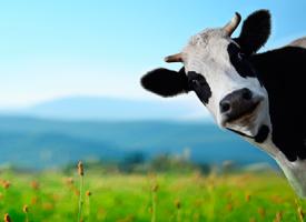 Despedimos el cole con unas risas y una redacción infantil sobre las vacas
